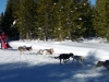 dogsled-8-dog-01