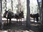 Mules stopping for a rest
