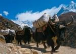 himalayan-yaks-carrying-loads