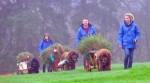 newfoundland-dogs-hauling