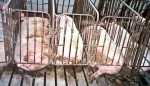 factory pigs