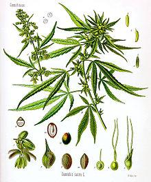 220px-Cannabis_sativa_Koehler_drawing