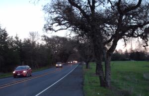 Sonoma Highway oaks