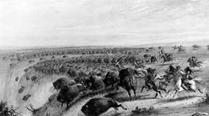 buffalo stampede off cliff